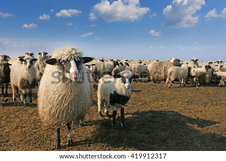 Sheep and her lamb in front of the herd - stock photo