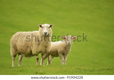 sheep and lamb on green grass - stock photo