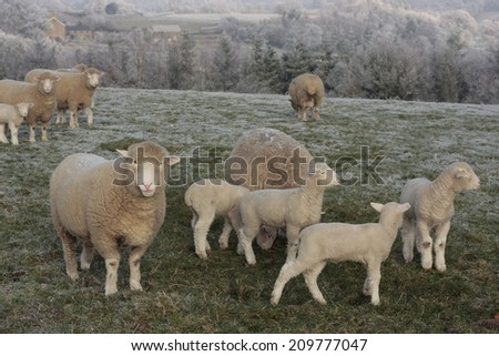 Sheep and lambs grazing in winter frost - stock photo