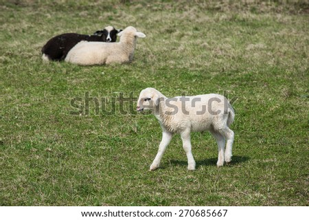Sheep and lambs grazing on a green pasture; organic breeding concept.  - stock photo