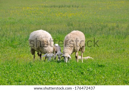 Sheep and lambs grazing on meadow  - stock photo