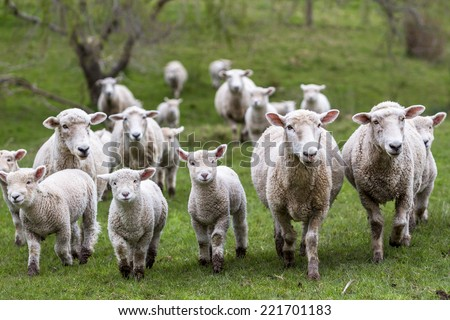 Sheep and lambs in paddock - stock photo