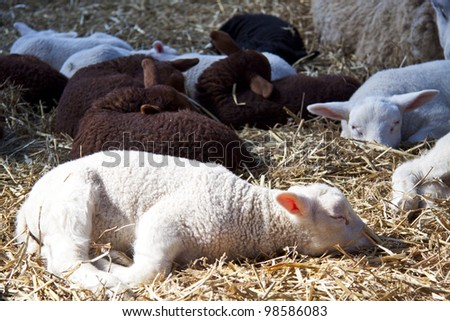Sheep and lambs in the hay for background use - stock photo