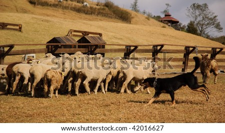 sheep and sheep dog - stock photo