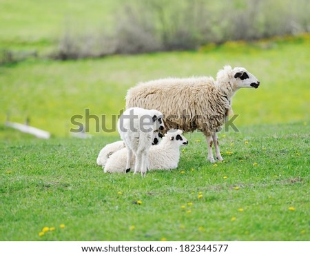 Sheep and two lambs - stock photo