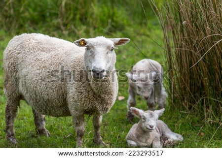 Sheep and two new lambs - stock photo