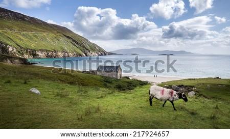 Sheep at achill island at ireland - stock photo