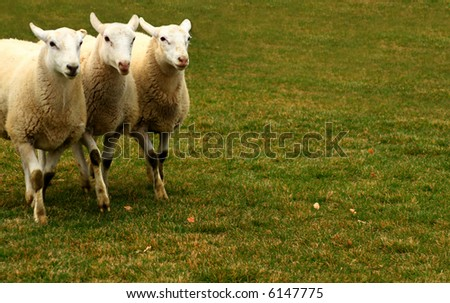 Sheep being moved by dog out of the picture - stock photo