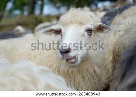 Sheep chews grass. Herd on pasture - stock photo