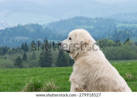 Sheep dog guard herd in Polish Tatra mountains - stock photo