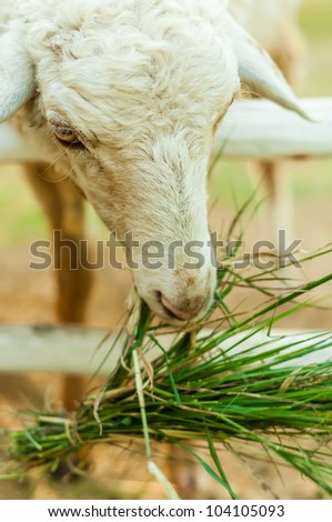 Sheep eating grass in corral - stock photo
