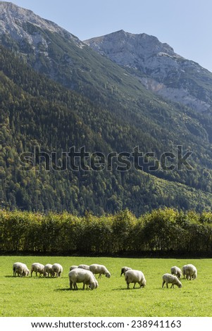 Sheep eating in a birght green grass field close to the rocky mountains of Leutaischklamm, Germany. - stock photo