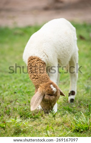 Sheep eating in the farm  - stock photo