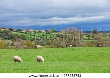 Sheep ewes grazing on farm land wind turbines with in the distance - stock photo