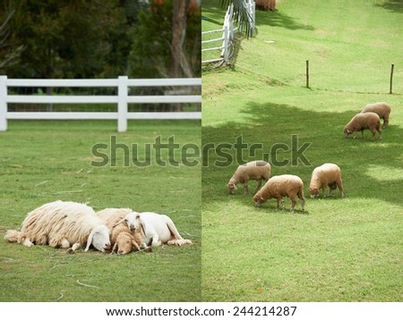 Sheep family in the field,sheep farm - stock photo