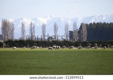 Sheep farm at Darfield New Zealand - stock photo