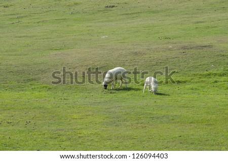 Sheep farm in South island, New Zealand. - stock photo
