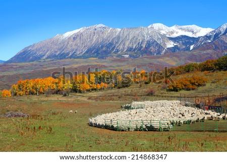 Sheep farm near Kebler pass in Colorado - stock photo