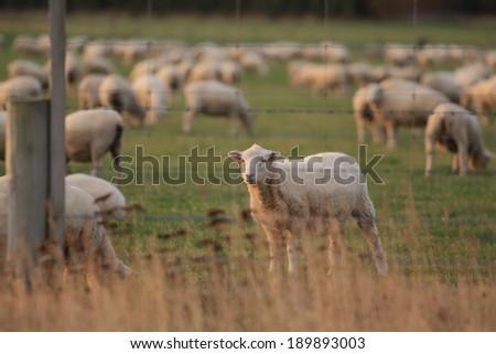 Sheep farm - New zealand. - stock photo