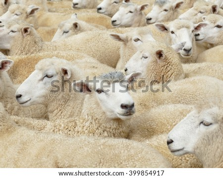 Sheep farming is a significant industry in New Zealand.million sheep in the country.  The country has the highest density of sheep per unit area in the world. - stock photo