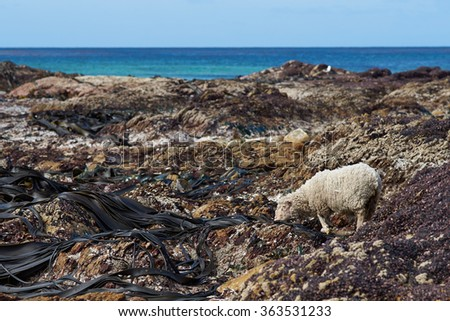 Sheep feeding on giant kelp exposed at low tide on the shoreline at Volunteer Point in the Falkland Islands.  - stock photo