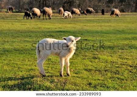 Sheep flock with lamb in foreground - stock photo
