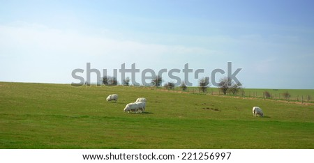 Sheep grassing on open green field taken in United Kingdom - stock photo