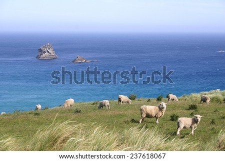 Sheep graze on pasture on the cliff, New Zealand - stock photo