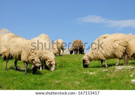 Sheep grazing grass on mountain  - stock photo