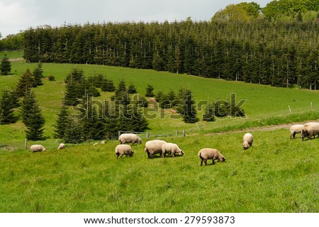 Sheep grazing in a beautiful landscape great agriculture image                                - stock photo
