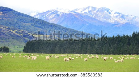 Sheep grazing in a nearby field with snow-capped mountains in the background., South Island, New Zealand. - stock photo