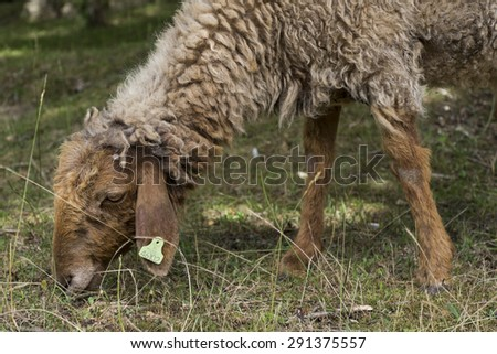 Sheep grazing in an arid meadow - stock photo