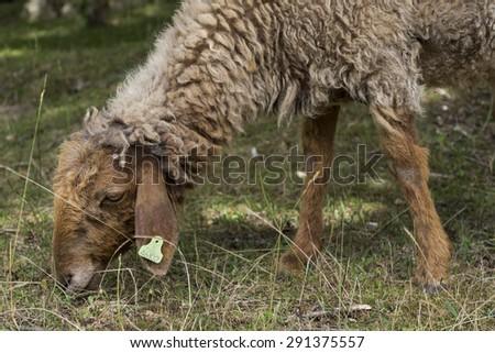 Sheep grazing in an arid meadow - stock photo
