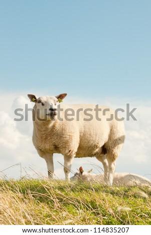 Sheep grazing in field of grass. Dike. Blue cloudy sky. Wadden island. Texel. The Netherlands. - stock photo