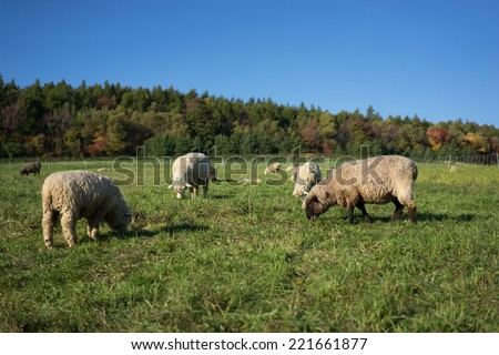 Sheep grazing on a farm - stock photo