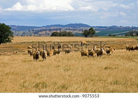 Sheep, grazing on a farm in Southern New South Wales, Australia - stock photo