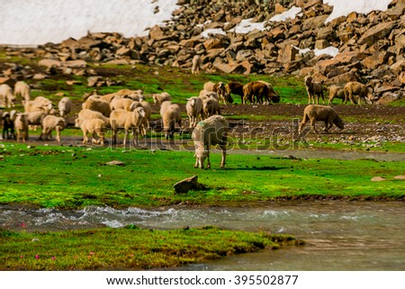 Sheep Grazing on a Hill,Kashmir,India - stock photo