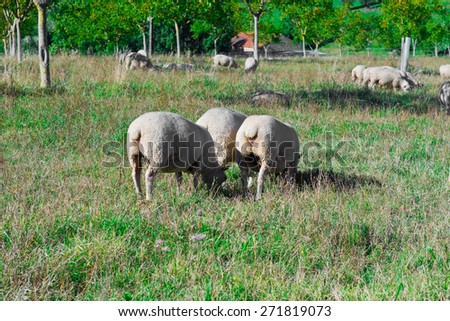 Sheep Grazing on Alpine Meadows in France - stock photo