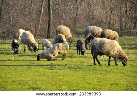 Sheep grazing on meadow - stock photo