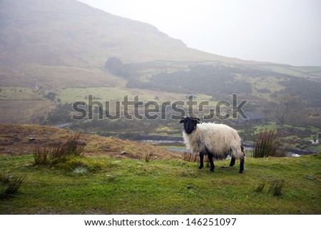 Sheep grazing with valley in background - stock photo
