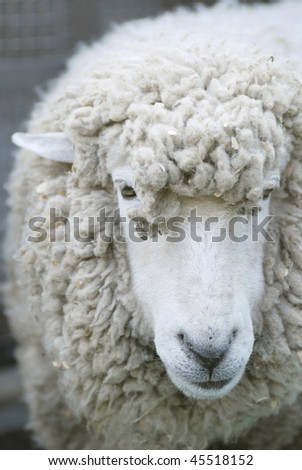 sheep head - stock photo
