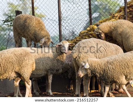 Sheep herd eating corn from granary on farmland - stock photo