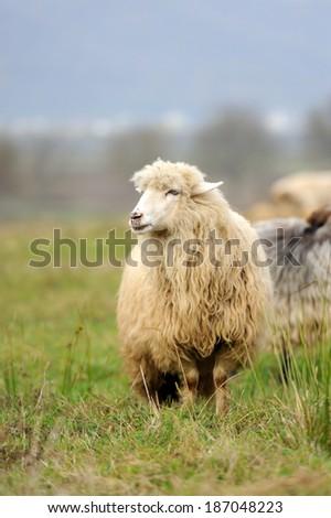 Sheep herd in summer meadow - stock photo