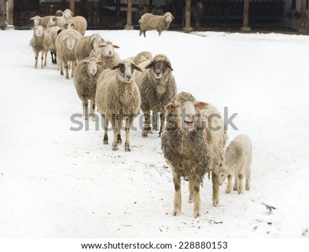 Sheep herd walking on snow on farmland - stock photo