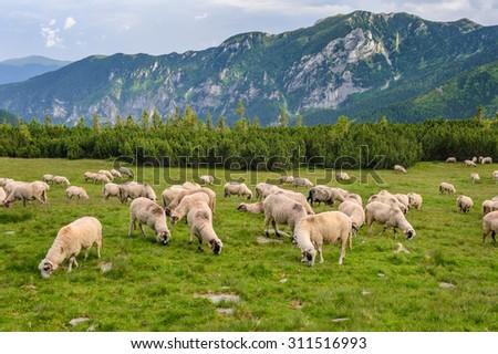 Sheep herds at alpine pastures in Retezat National Park, Carpathians, Romania.  - stock photo