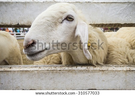 Sheep in a cage - stock photo