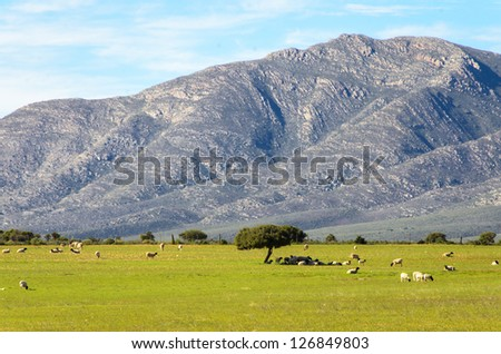 Sheep in an open field near Oudtshoorn in South Africa - stock photo