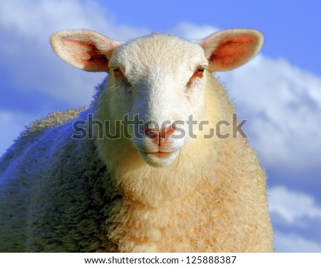 Sheep in blue light - stock photo