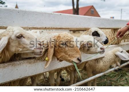 sheep in farm - stock photo