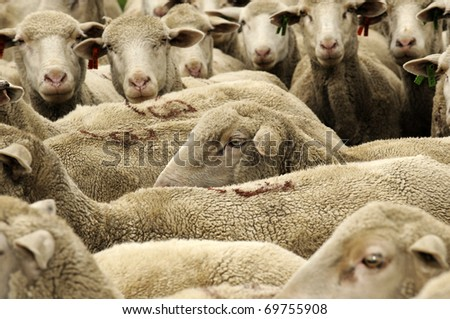 Sheep in  group - stock photo